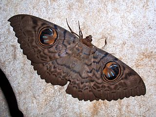 <i>Erebus</i> (moth) genus of insects