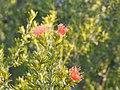 Eremaea pauciflora (leaves and flowers).jpg