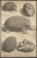 Erinaceus parvus nostras - 1700-1880 - Print - Iconographia Zoologica - Special Collections University of Amsterdam - UBA01 IZ20900001.tif