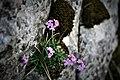 Erine des alpes. Crêt des Roches. (2).jpg