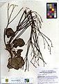 Eriogonum elegans -10633A (16706938581).jpg