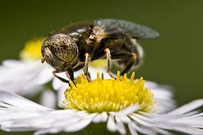 Glänzende Faulschlammschwebfliege (Eristalinus aeneus), Männchen