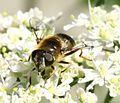 Eristalis rupium (female) - Flickr - S. Rae (10).jpg