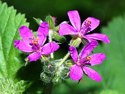definition of erodium