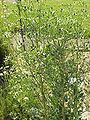 Eryngium palmatum1.jpg