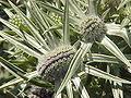 Eryngium variifolium0.jpg