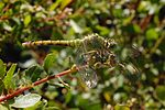 Erythemis collocata-Female-9.jpg