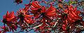 Erythrina 5203.jpg