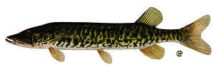 American pickerel - Grass pickerel, Esox americanus vermiculatus