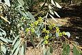 Eucalyptus diversifolia - Jardín Botánico de Barcelona - Barcelona, Spain - DSC08989.JPG