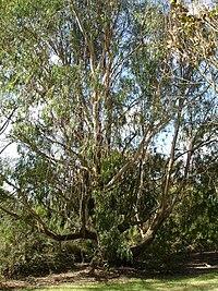 Eucalyptus Gyvoji Gamta Wiki Fandom Powered Wikia