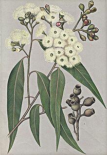Corymbia Maculata Wikipedia