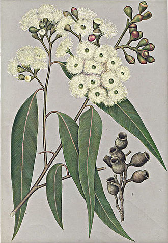 Corymbia maculata - Eucalyptus maculata by Edward Minchen from: 'The Flowering Plants and Ferns of New South Wales - Part 6' (1897), J H Maiden