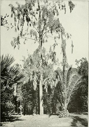 Eucalyptus microtheca - Eucalyptus microtheca cultivated in the United States