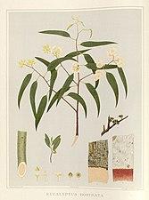 Eucalyptus rostrata by Rosa Fiveash.jpg
