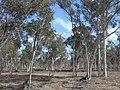 Eucalyptus wandoo 3 Brookton Highway NR XII-2010.JPG