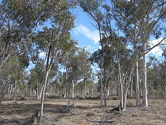 Brookton Highway - Wandoo (Eucalyptus wandoo) woodlands along the highway at Brookton Highway Nature Reserve, December 2010.