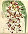 Eulophia rosea (as Lissochilus horsfallii) - Curtis' 91 (Ser. 3 no. 21) pl. 5486 (1865).jpg