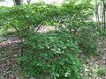 Euonymus alatus var rotundatus1.jpg