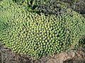 Euphorbia caput-medusae - Signal Hill - Cape Town 3.JPG