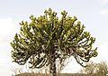 Euphorbia cooperi00.jpg