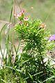 Euphorbia cyparissias (2).JPG