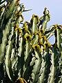 Euphorbia ingens, Jardinmonaco24.jpg