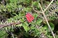 Euphorbia milii 27zz.jpg