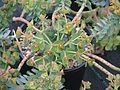 Euphorbia myrsinites reddish form - Flickr - peganum (2).jpg