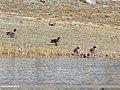 Eurasian Wigeon (Anas penelope) (36466158342).jpg
