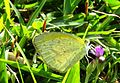 Eurema brigitta UN.jpg
