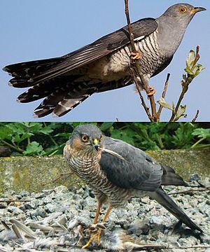 Photo of sparrowhawk and cuckoo, looking similar