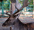 European Deer in Green Hill, Almaty (3992610358).jpg