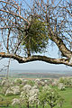 European Mistletoe or Common Mistletoe, Viscum album.jpg