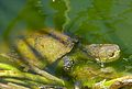 European Pond Turtle (Emys orbicularis) (9183983057).jpg