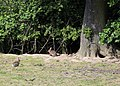 European Rabbit Oryctolagus cuniculus Woodland Trust wood Theydon Bois Essex England 02.JPG