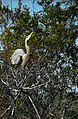 Everglades07(js)-Great Blue Heron.jpg