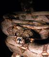 Exemplar de Boa Constrictor.jpg