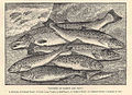 FMIB 32938 Varieties of Salmon and Trout.jpeg