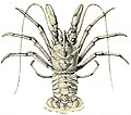 FMIB 45466 Deep-Sea Hermit-Lobsters, with Dull, Lack-Lustre Eyes.jpeg