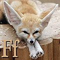 F is for Fennec.jpg