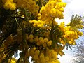 Fabales - Mimosa scabrella 1.jpg