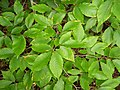 Fagus grandifolia foliage.jpg