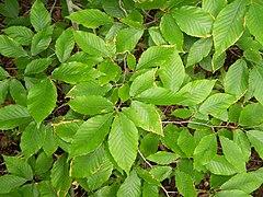 Foliage, Fagus grandifolia