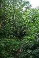 Fajã do Meio, veredas, exuberância da vegetação das florestas da laurissilva, típica da Macaronésia e características das fajãs da ilha de São Jorge, Velas, Açores.JPG