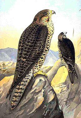 260px-Falco biarmicus NAUMANN