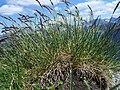 Festuca versicolor a3.jpg