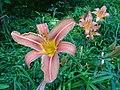 Feuerlilien in der Irlacher Au (3).jpg