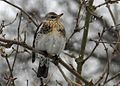 Fieldfare (Turdus pilaris) Hampshire UK.jpg