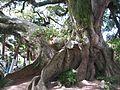 Figueira da Paz - Arambaré RS.jpg
